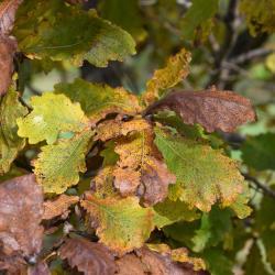 Quercus petraea ssp. iberica (Georgian Oak), leaf, upper surface