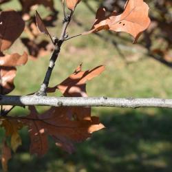 Quercus petraea ssp. iberica (Georgian Oak), bark, twig