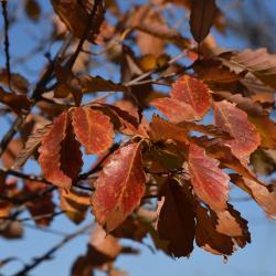 Quercus ×jackiana (Vallonea Oak), flower, staminate
