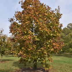 Quercus petraea ssp. iberica (Georgian Oak), leaf, spring