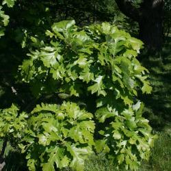 Quercus macrocarpa (Bur Oak), plant, young