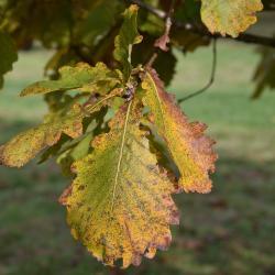 Quercus prinoides (Dwarf Chinkapin Oak), bark, branch
