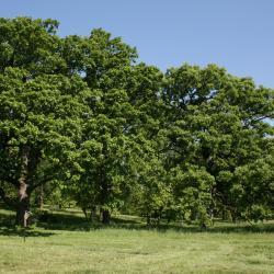 Quercus macrocarpa (Bur Oak), habitat, fire