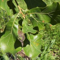 Quercus rubra var. borealis (Northern Red Oak), bud, lateral