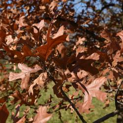 Quercus petraea ssp. iberica (Georgian Oak), leaf, fall