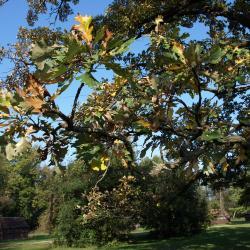 Quercus macrocarpa (Bur Oak), leaf, summer
