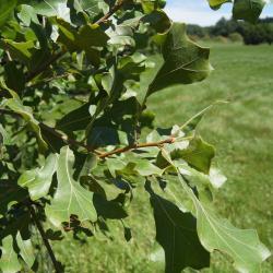 Quercus rubra var. borealis (Northern Red Oak), bark, mature