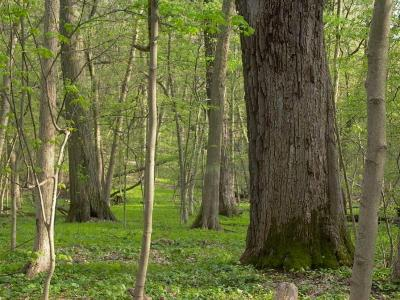 Quercus macrocarpa (Bur Oak), habitat