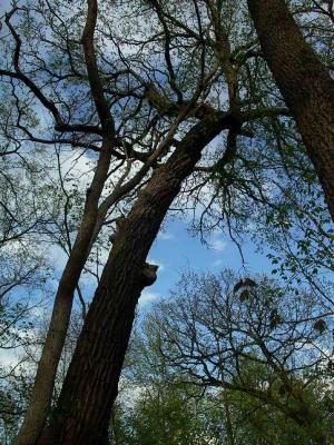 Quercus macrocarpa (Bur Oak), habit, spring