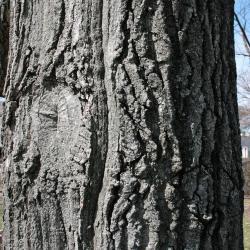 Quercus muehlenbergii (Chinkapin Oak), fruit, immature