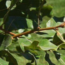 Quercus robur (English Oak), leaf, lower surface