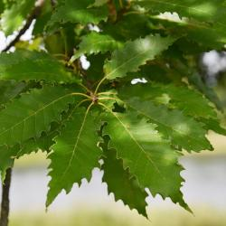 Quercus palustris (Pin Oak), inflorescence