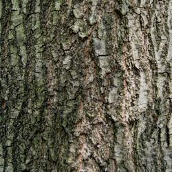 Quercus rubra var. borealis (Northern Red Oak), bud, terminal