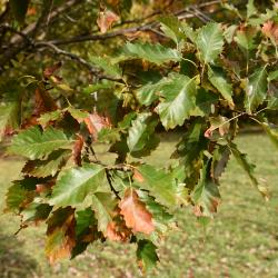 Quercus ×jackiana (Vallonea Oak), habit, spring