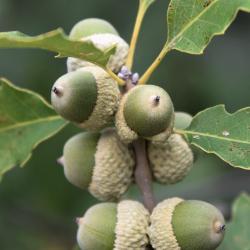 Quercus shumardii (Shumard's Oak), bark, trunk