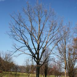 Quercus palustris (Pin Oak), fruit, mature