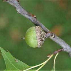 Quercus rubra (Northern Red Oak), bark, twig