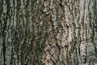 Quercus nigra (Water Oak), bark, mature