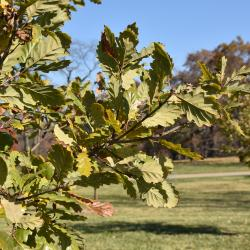 Quercus prinoides (Dwarf Chinkapin Oak), infructescence