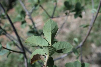 Quercus palmeri (Palmer Oak), leaf, lower surface