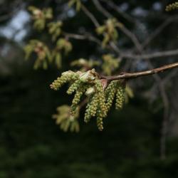 Quercus rubra (Northern Red Oak), habit, summer