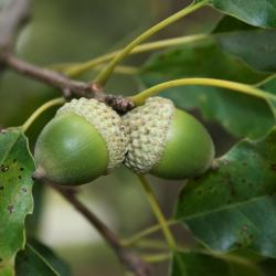 Quercus palustris (Pin Oak), bark, twig