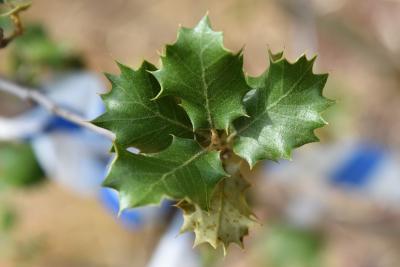 Quercus palmeri (Palmer Oak), leaf, full