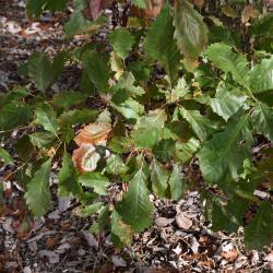 Quercus ×jackiana (Vallonea Oak), gall, twig