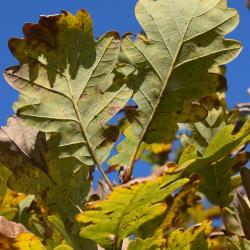 Quercus prinoides (Dwarf Chinkapin Oak), leaf, fall