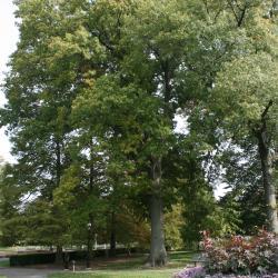Quercus rubra (Northern Red Oak), flower, staminate