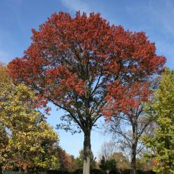 Quercus rubra (Northern Red Oak), bud, vegetative