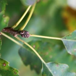 Quercus muehlenbergii (Chinkapin Oak), leaf, summer