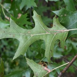Quercus rubra (Northern Red Oak), habitat
