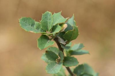Quercus palmeri (Palmer Oak), leaf, summer