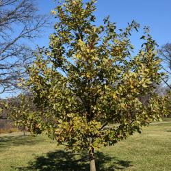 Quercus prinoides (Dwarf Chinkapin Oak), fruit, mature
