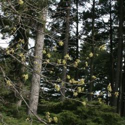 Quercus rubra (Northern Red Oak), habit, winter