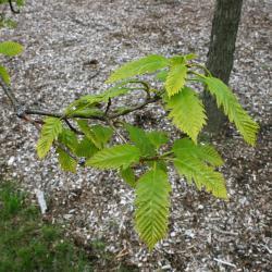 Quercus palustris (Pin Oak), habit, winter