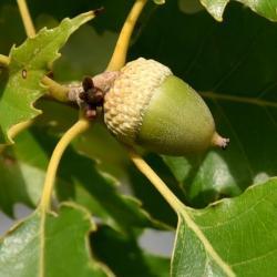 Quercus palustris (Pin Oak), bud, vegetative