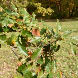 Quercus ×jackiana (Vallonea Oak), inflorescence