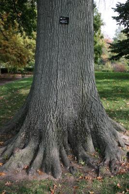 Quercus palustris (Pin Oak), bark, mature
