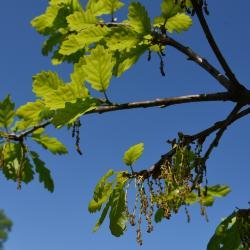 Quercus prinoides (Dwarf Chinkapin Oak), habit, fall