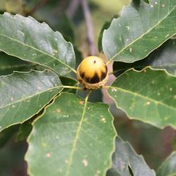 Quercus ×jackiana (Vallonea Oak), leaf, new