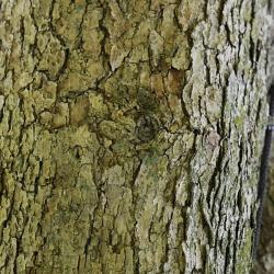 Quercus muehlenbergii (Chinkapin Oak), habit, winter