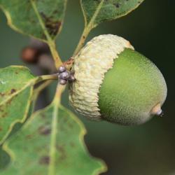 Quercus prinoides (Dwarf Chinkapin Oak), leaf, upper surface