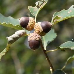 Quercus ×jackiana (Vallonea Oak), leaf, summer