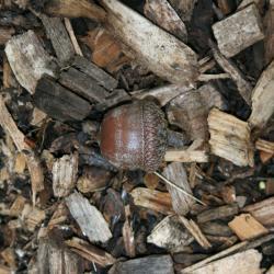 Quercus palustris (Pin Oak), fruit, immature