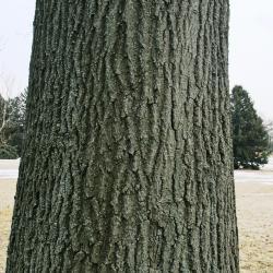 Quercus palustris (Pin Oak), leaf, upper surface