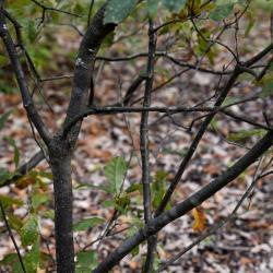Quercus prinoides (Dwarf Chinkapin Oak), leaf, summer