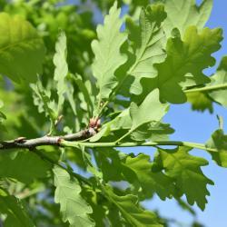 Quercus prinoides (Dwarf Chinkapin Oak), fruit, immature