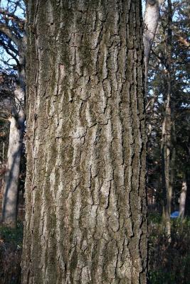 Quercus rubra (Northern Red Oak), bark, mature